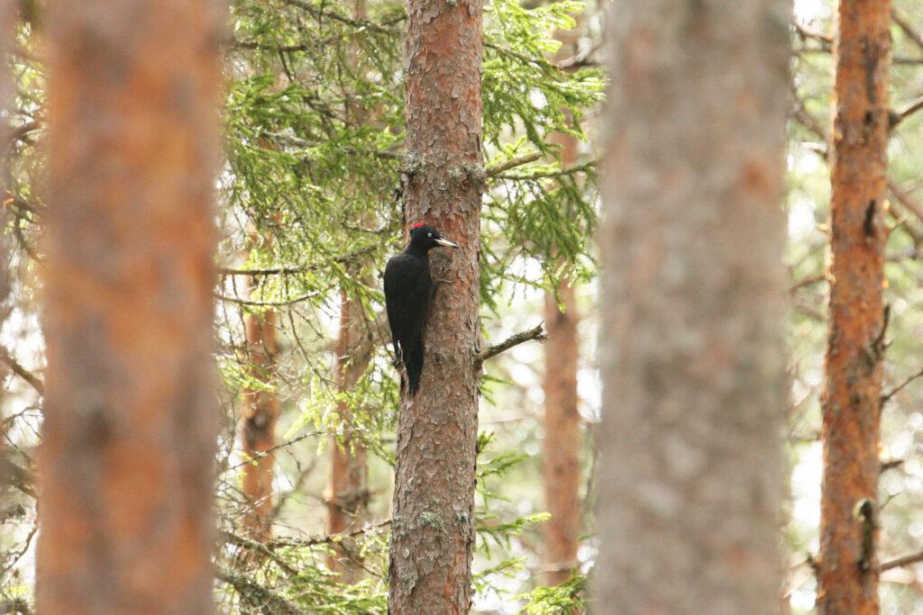 Black Woodpecker (Dryocopus martius)_PG8D7650