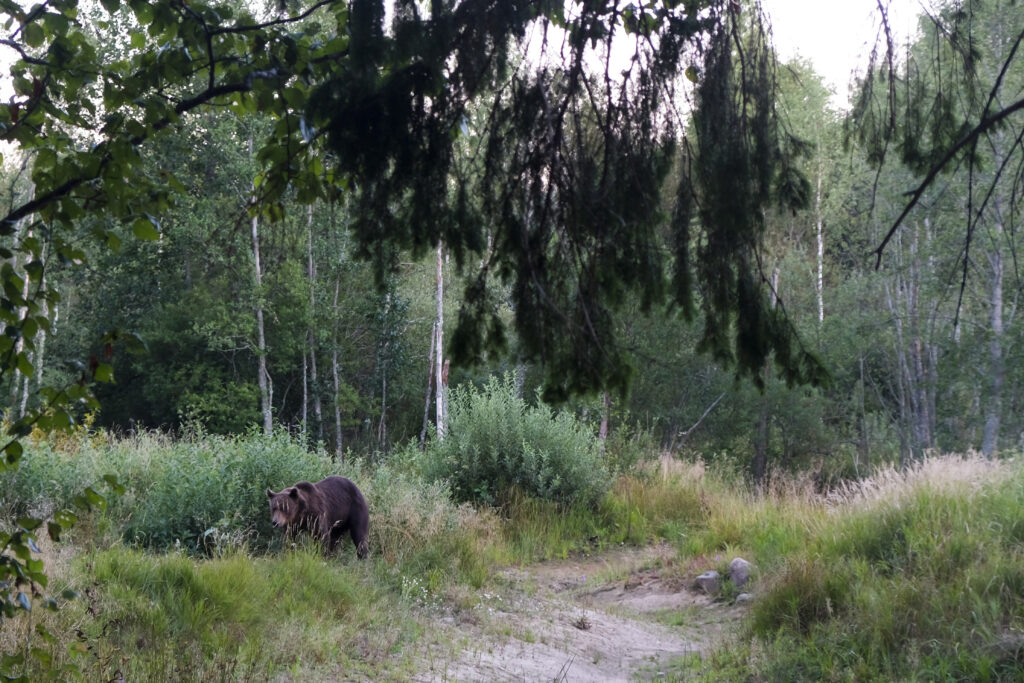 Bear on back side of hide