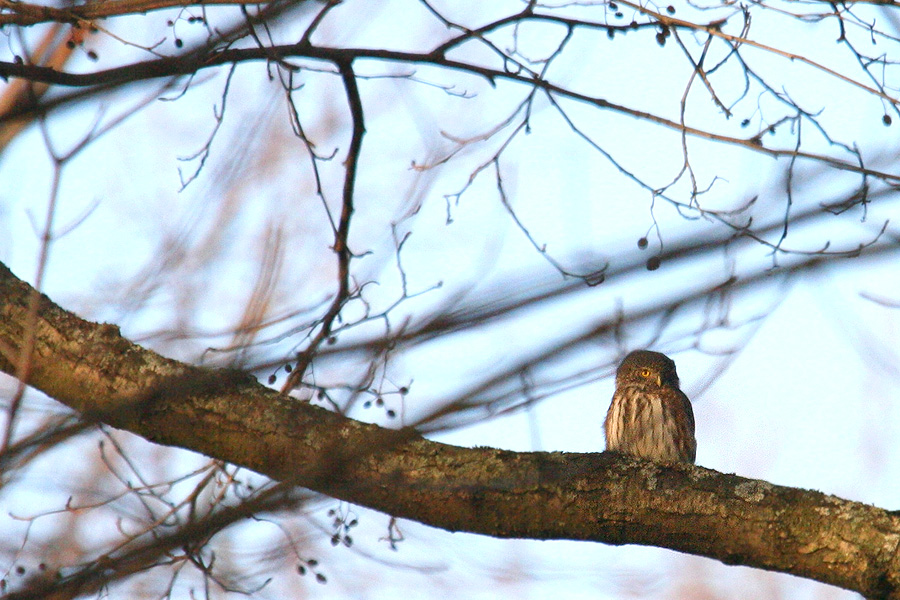 Pygmy Owl in Estonia