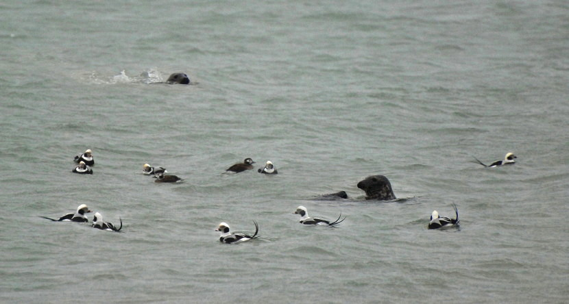 Grey Seal and Long-tiled Ducks at Põõsaspea
