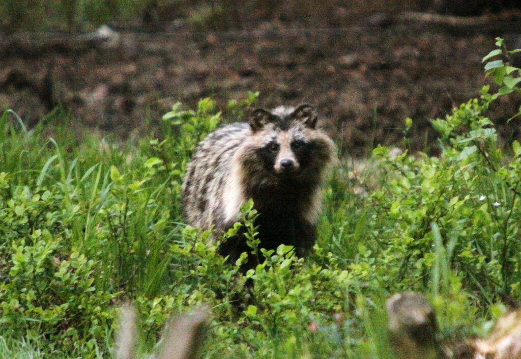 Raccoon Dog wildlife watching tour in Estonia