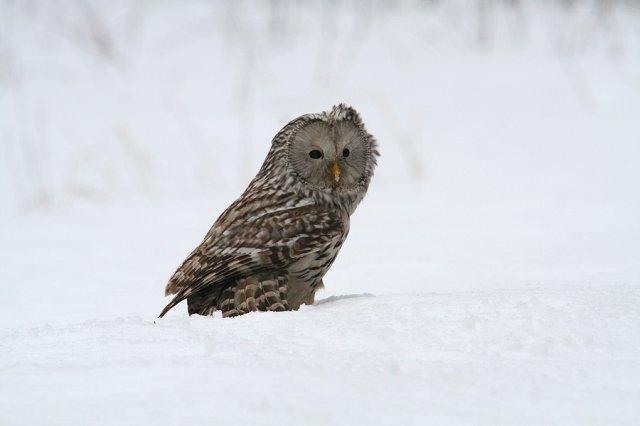 Ural Owl in Estonia