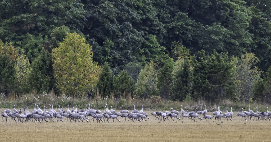 Common Cranes by Janne Polluaas