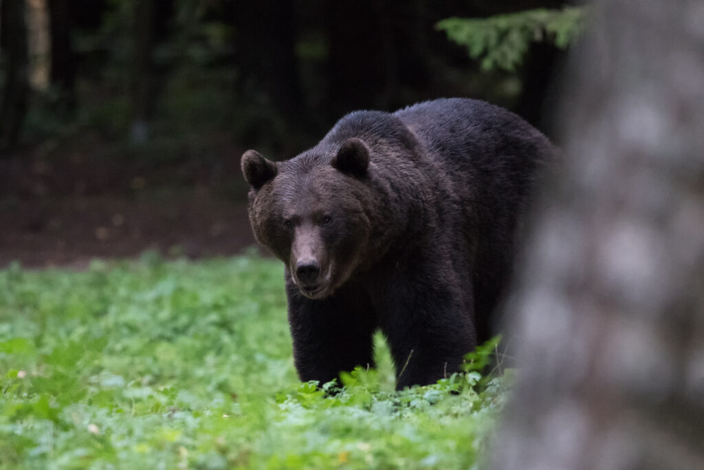 Brown Bear from the wildlife watching hide by Gerlach Photography