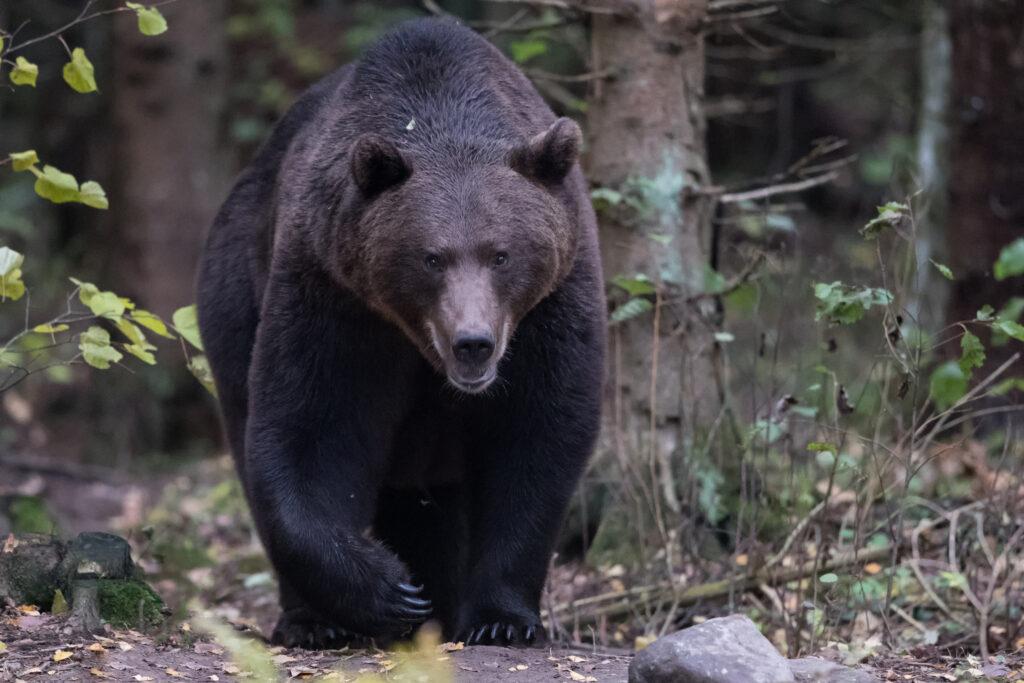 Brown Bear by Gerlach Photography