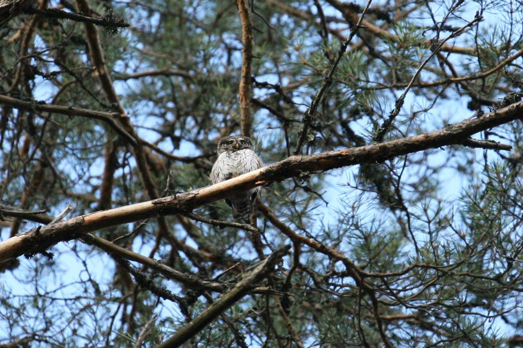 Eurasian Pygmy Owl (Glaucidium passerinum) by Ueli Weber