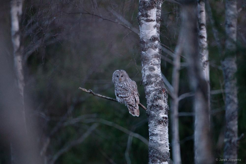 Ural Owl by Jarek Jõepera