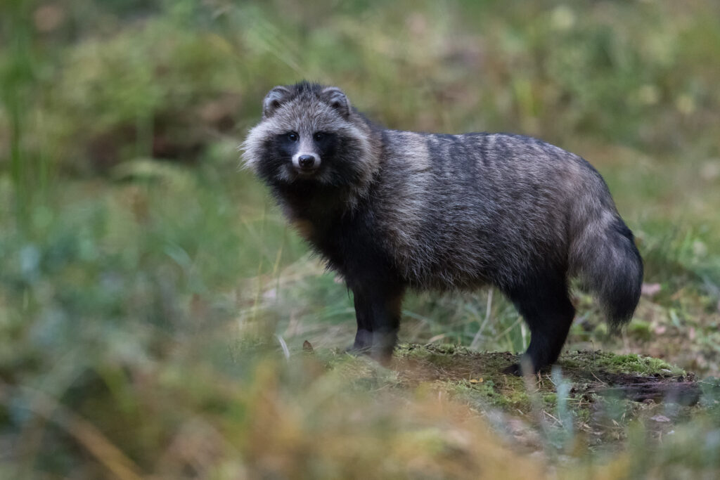 Raccoon Dog from the Brown bear hide by Gerlach Photography