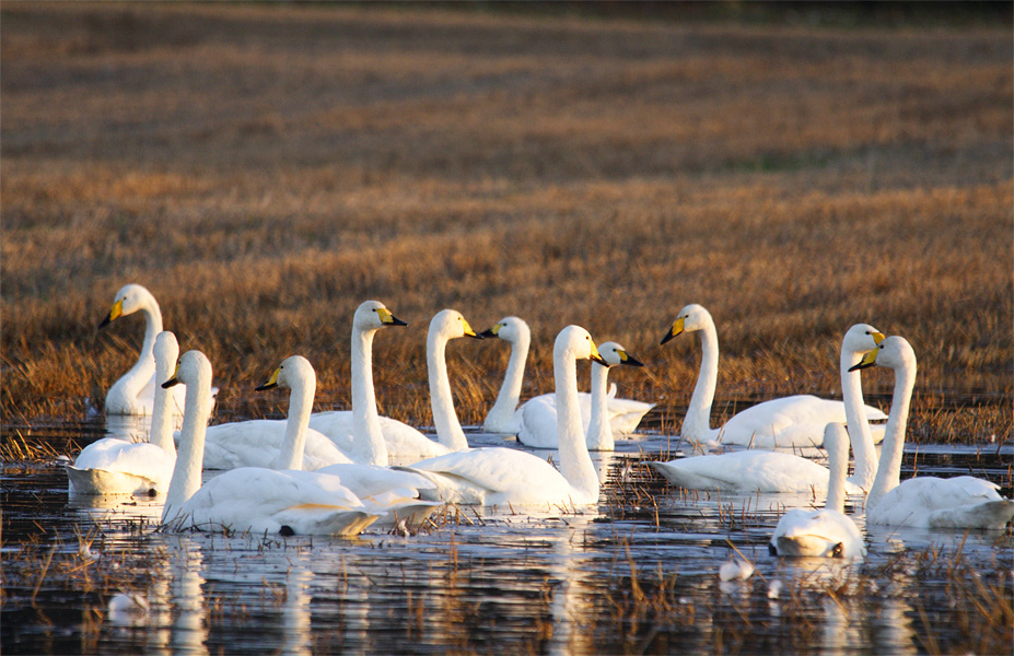 Whooper Swans in early spring