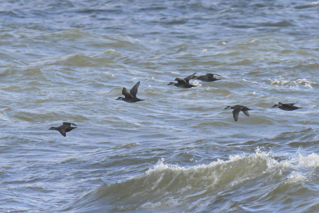 Velvet Scoters by Peter Lind