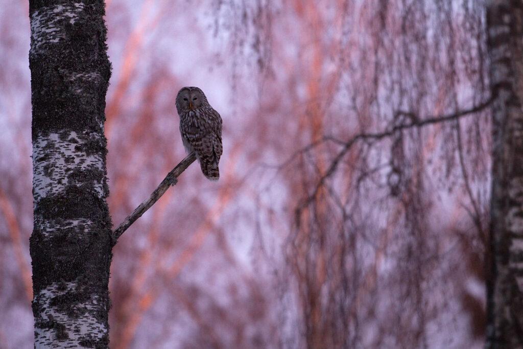 Ural Owl by Ingmar Muusikus