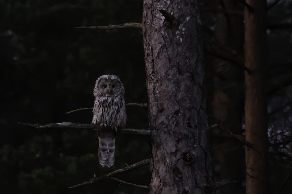 Ural Owl_Janne_Põlluaas