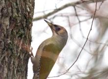 gray-headed-woodpecker