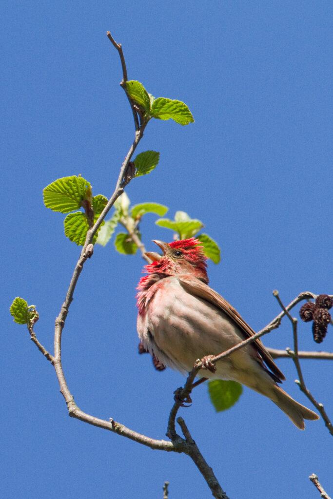 Common Rosefinch_Photo by Ingmar Muusikus