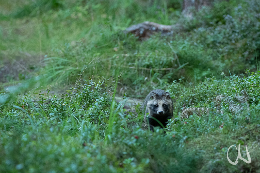 Marderhund, (Nyctereutes procyonoides), raccoon dog,  Estland, Estonia, Europa