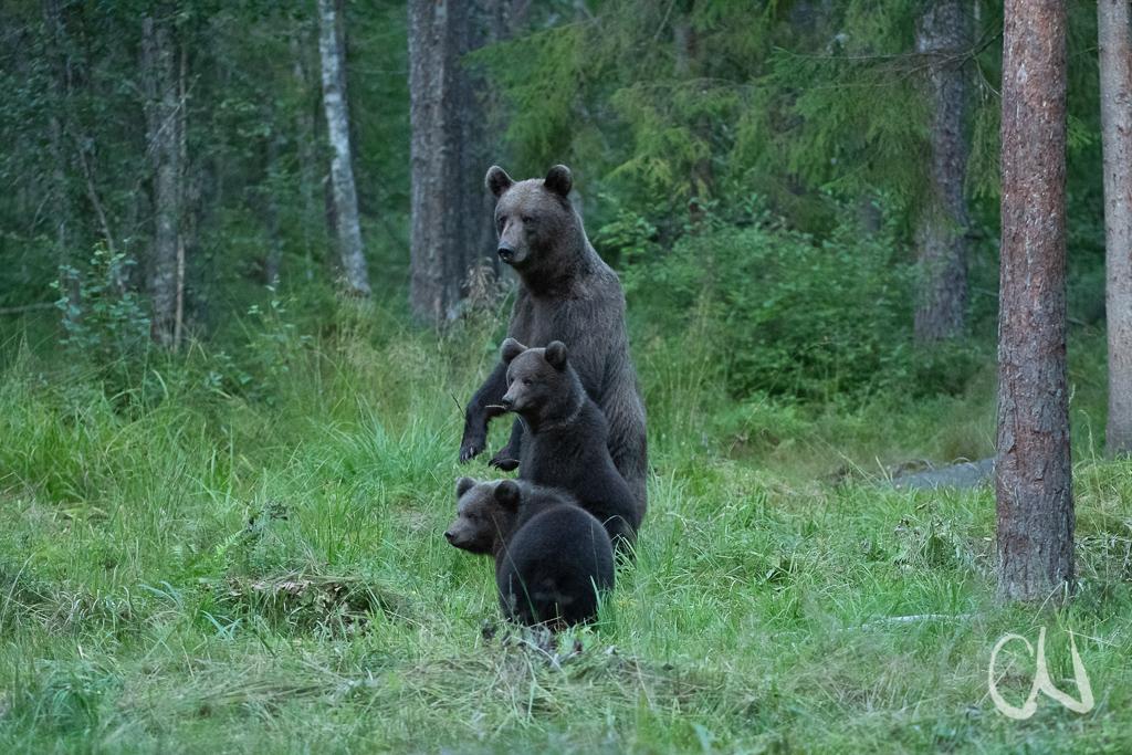 Braunbär, (Ursus arctos), Estland, Europa