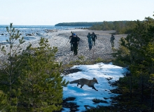 Undva promontory. Polish birdwatchers and a fox