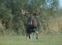 estonian wildlife Elk in Matsalu NP