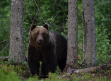 Brown bear in Alutaguse