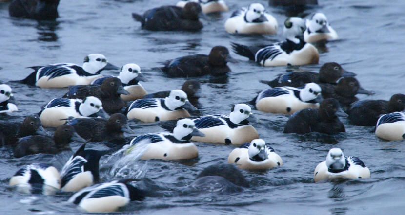 self guided short break Steller's Eiders