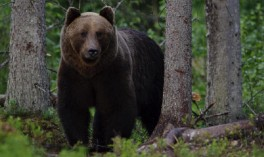 Brown Bear Watching and Tracking